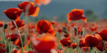 Blooming Field Of Red Poppy Fl...