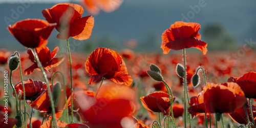 blooming field of red poppy flowers at sunset. abstract nature blur. nature scenery with blurred background in evening light - 315203620