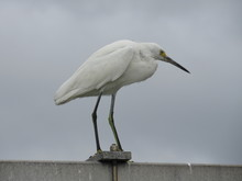 Great White Egret On The Beach