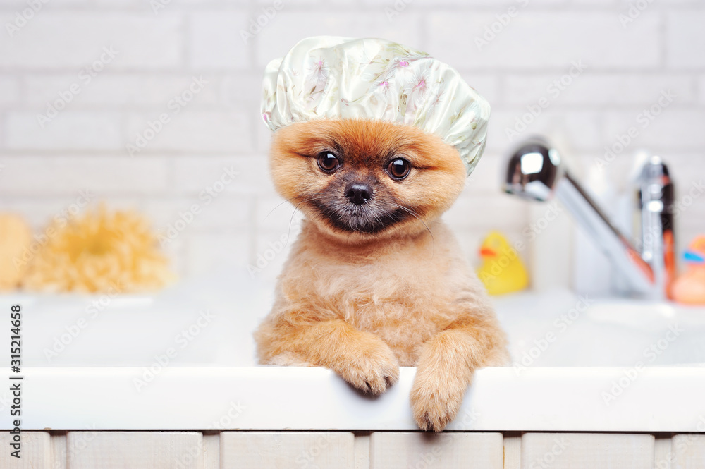 Obraz Spitz having bath wearing plastic shower hat fototapeta, plakat