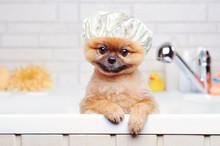 Spitz Having Bath Wearing Plas...