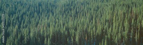 Cuadros en Lienzo Forest of Pine Trees, Colorado