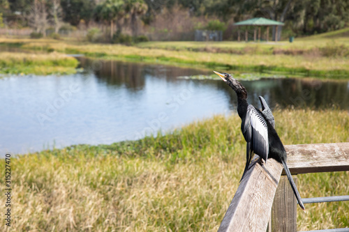 wide shot of a young Anhinga (Anhinga anhinga) perched on a wooden rail fence Wallpaper Mural