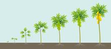 Papaya Tree Growing Process. Papaw Development Stage. Ripening Period Vector Infographic.