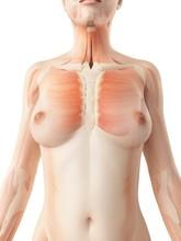 Female Muscular System, Illustration