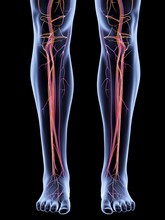 Vascular System Of The Legs, A...