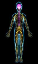 Human Nervous System, Illustra...