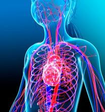 Human Cardiovascular System, I...