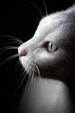 White Cat, Portrait