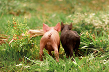 Two Piglets In The Grass, Rear...