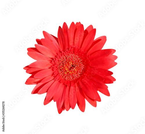 Beautiful red gerbera or barberton daisy flower blooming top view isolated on wh Canvas Print