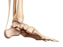 Achilles Tendon Of The Human F...