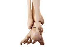 Achilles Tendon Of The Human Foot