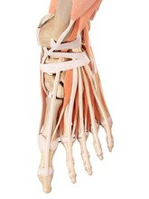 Human Foot Muscles