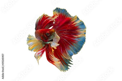 Rhythmic of Betta Siamese fighting fish, Betta splendens Pla-kad ( biting fish ) Thai, popular aquarium fish Wallpaper Mural