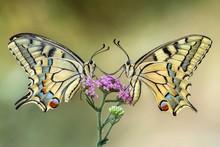 Two Swallowtail Butterflies On...