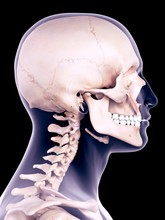 Facial Muscle, Illustration