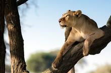 Lioness On Branch