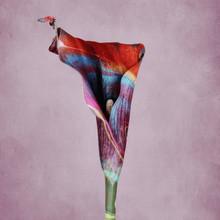 Calla Lily, Multicolored With ...