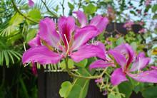 Flower Of Purple Bauhinia, Pha...