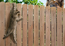 Funny Kitten Hanging On Fence ...