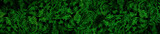 Fototapeta Kwiaty - Very detailed and natural, lush, green ferns background
