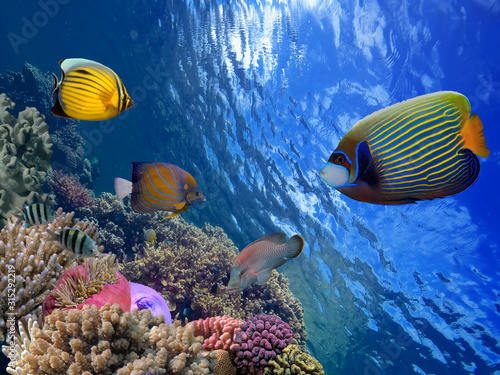Red Sea coral reef with hard coral and Emperor Angelfish Canvas Print