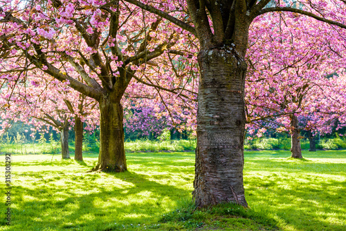 Foto A row of blossoming Japanese cherry trees in a grassy meadow by a sunny spring afternoon, with branches laden with clusters of pink flowers