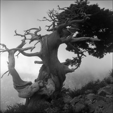 Gnarled Old Tree On The Island Of Crete, Greece