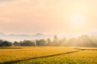 canvas print picture - Beautiful morning fog in the rice field background.