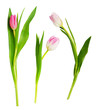 Set of pink and white tulip flowers