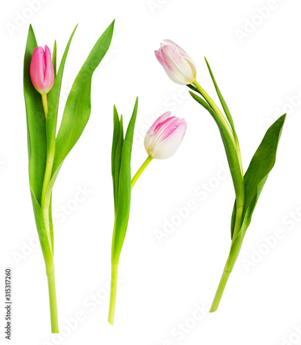 Set of pink and white tulip flowers Fototapete