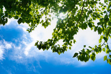 Soft White Clouds In The Blue Sky. Green Leaves Of A Tree Against The Blue Sky And The Sun.Sun Soft Light Through The Green Foliage Of The Tree.