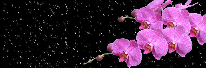 Fototapeta na wymiar pink orchid with drop long