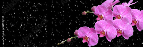 Fototapeta pink orchid  with drop long obraz