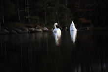 White Swans On A Lake