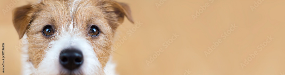 Fototapeta Web banner of a beautiful cute obedient jack russell terrier pet dog face, close-up