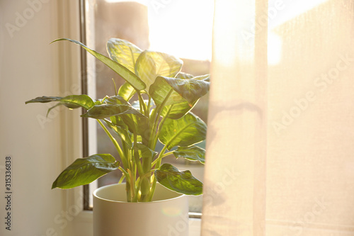 Fotomural  Potted Dieffenbachia plant near window at home. Space for text