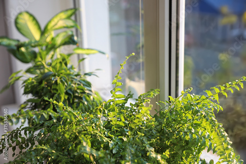 Cuadros en Lienzo  Beautiful potted plants near window at home, closeup