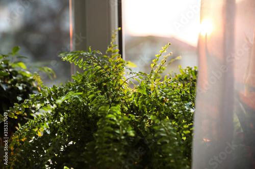 Fotomural  Beautiful fern plant near window at home, closeup