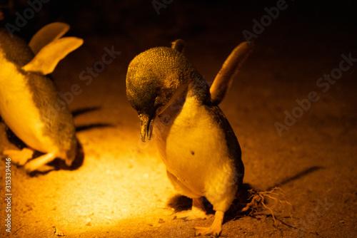 砂浜にあがってきたフェアリーペンギン Canvas Print