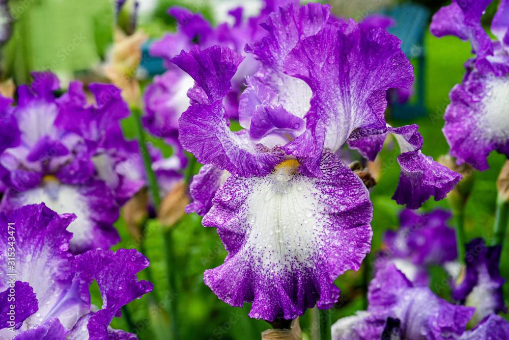 Fototapeta Close up of a German or bearded iris growing in a peaceful back yard garden.