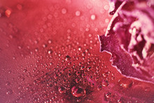 Red Dried Rose With Drops Of W...