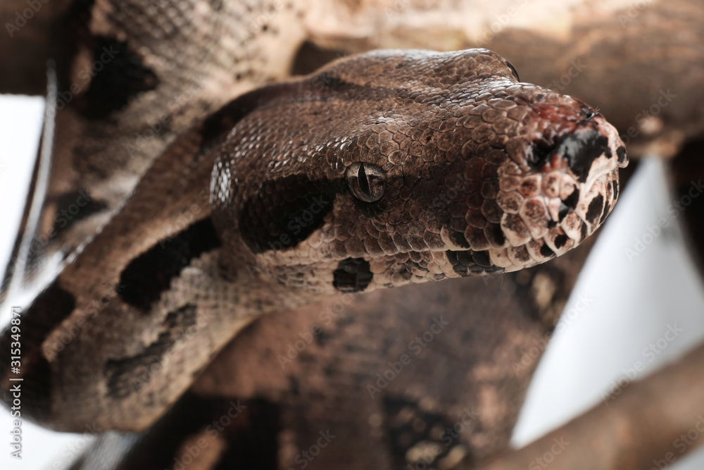 Fototapeta Brown boa constrictor on tree branch outdoors, closeup