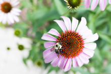 Bumble Bee Pollinator On A Con...