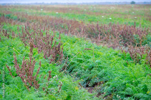 Photo Autumn farm field with carrot crop
