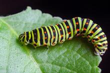 Caterpillar Of The Machaon Cra...