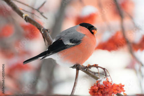 Cute colorful eurasian bullfinch eating red berries, (Pyrrhula pyrrhula) Canvas Print