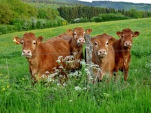 Limousin Cows In A Field