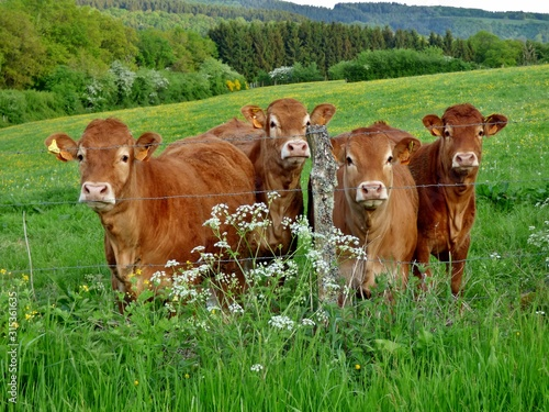 Photographie limousin cows in a field